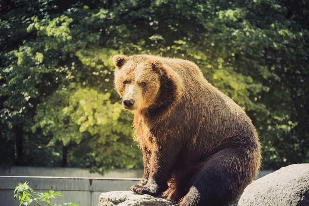 振り返ってこちらを見るクマ
