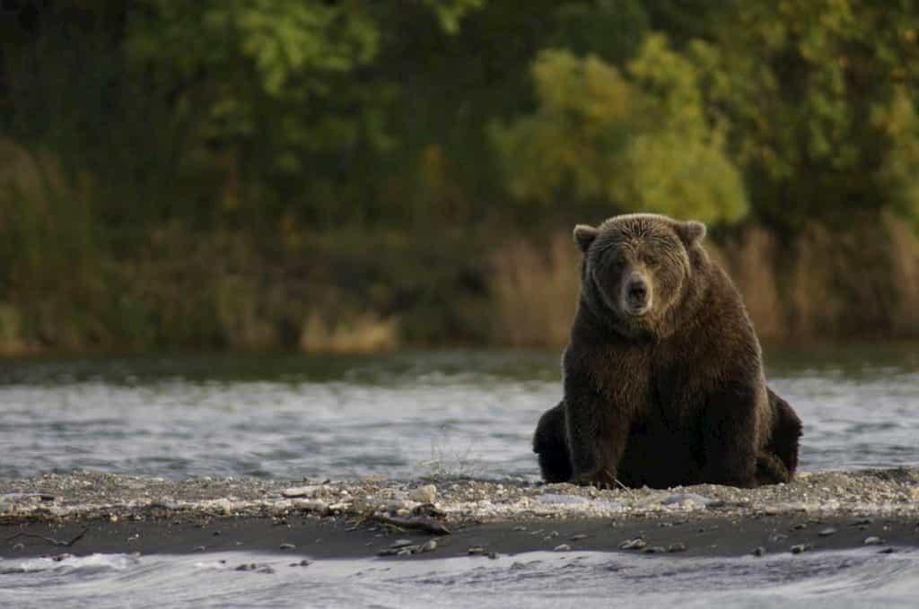 河原でこちらを見つめるクマ