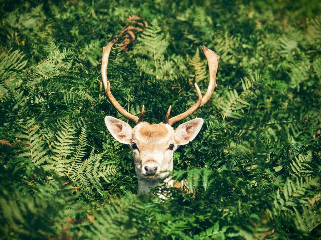 草むらから顔を覗かせる鹿