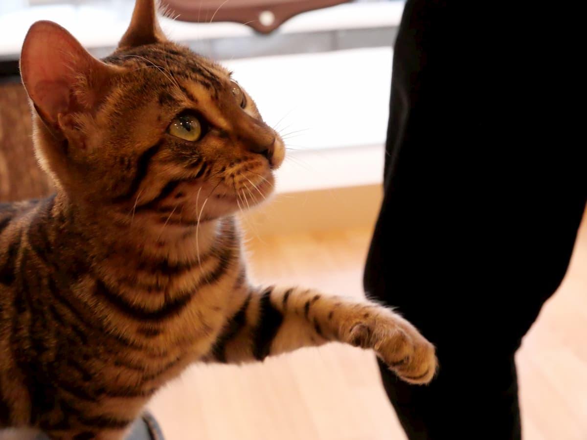 ちゅーるを催促するネコ